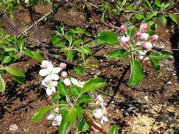 s-林檎の花