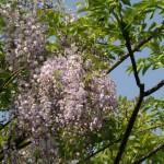 s-藤の花