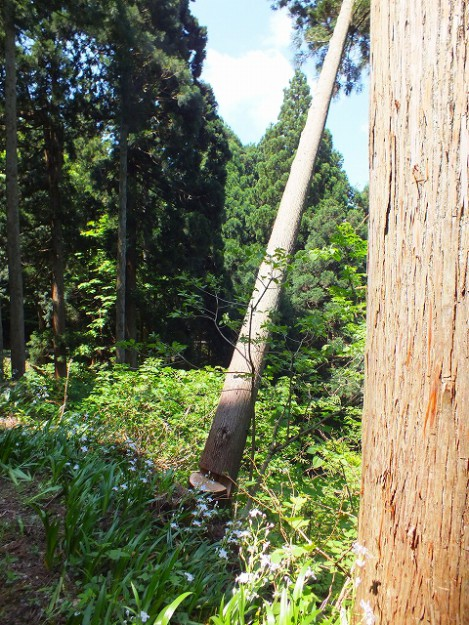 s-0510伐採木