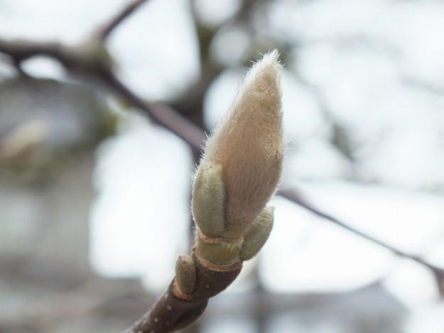 s-柳の芽