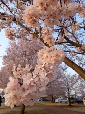 20210326桜6